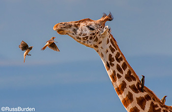 Birds flying near Giraffe