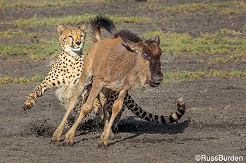 Cheetah Hunting in Africa