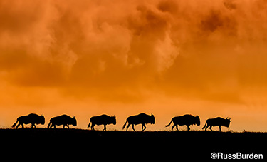 Buffalo on the Serengeti